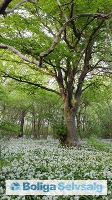 Præstens Skov, flere blomstrende ramsløg.